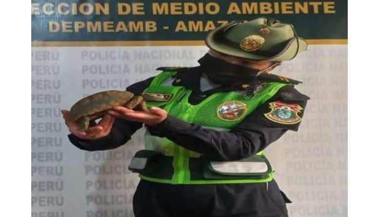 Hallan y rescatan con vida a tortuga y águila  silvestres en amazonas y Cajamarca